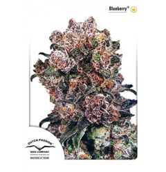 Dutch Passion Seeds- Blueberry