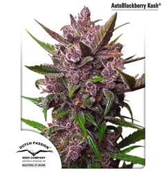 AutoBlackberry Kush - Dutch Passion