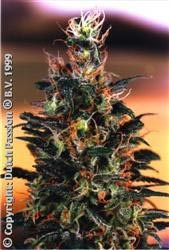 Dutch Passion Seeds Khola